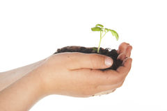 Child hands with growing plant. From seed Royalty Free Stock Photography