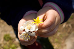 Child hands holding flowers Royalty Free Stock Image