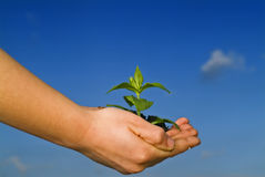 Child hands holding plant. Against clear blue sky Royalty Free Stock Photos