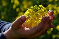 Child hands holding rapeseed (brassica napus) on rapeseed field. Stock Photo