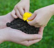 Child hands putting flower in female hands Royalty Free Stock Photo