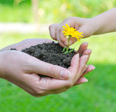 Child hands putting flower in female hands Royalty Free Stock Image