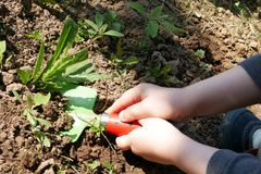 Child hands removing weed in garden with toy shovel. Child hands removing weed with toy shovel, green shovel blade and red ladybug like handle with black dots stock images