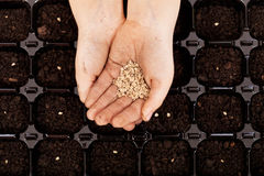 Child hands with seeds to be sowed Royalty Free Stock Images