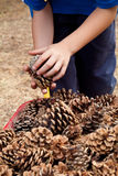 Child harvesting pine cones Royalty Free Stock Images