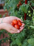 child with his hands full of fresh tomatoes just harvested from Royalty Free Stock Image