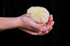 Child Holding Baby Chick Stock Image