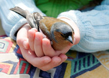 Child holding bird. Hands of young child cradling bird Royalty Free Stock Photos