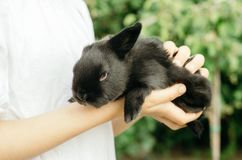 The child is holding a black little rabbit in the hands of greenery. Concept - farm animals, young pets. The child is holding a black little rabbit in the hands royalty free stock photography