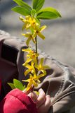 Child holding a branch of forsythia Royalty Free Stock Images