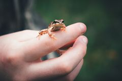 A frog on the hand of a child. Stock Photography