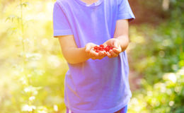 Child holding raspberries picked in his garden Stock Image