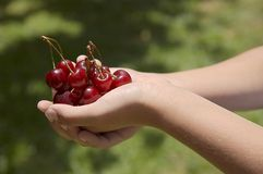 Child holding red cherries Royalty Free Stock Image