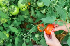 The child is holding a red tomato in the greenhouse when harvest. royalty free stock image