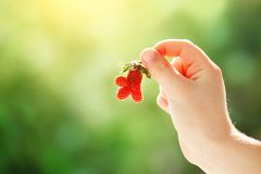 The child is holding strawberries of unusual shape in the garden. Strawberry. Harvest. Selective focus. royalty free stock photography