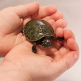Child holding a Turtle stock image