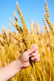 Child holding wheat. A young boy holds a bunch of golden wheat Royalty Free Stock Photo