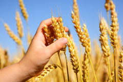 Child holding wheat Royalty Free Stock Photos