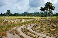 Child labour graze duck on rice field Stock Photos