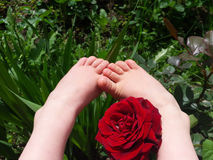 Child legs and rose. Royalty Free Stock Images
