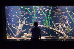 Child look at aquarium with piranha Stock Photos