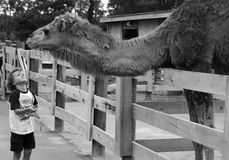 Child looking at camel in zoo. Black and white view of child looking at camel in zoo enclosure Royalty Free Stock Images