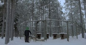 Child looking at husky dogs in outdoor cage. Boy standing by the cage with two husky dogs and looking at them. Winter scene in the woods stock video footage