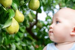 Child looking at ripe pears at orchard in autumn. Little boy wanting to eat sweet fruit from tree in garden at fall harvest. Infan. T and baby food concept royalty free stock images