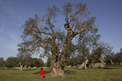 Child looks big tree. Child with red coat looks huge olive tree Stock Photo