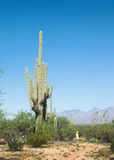 The child looks at the huge cactus - Carnegiea gigantea. Saguaro Royalty Free Stock Image
