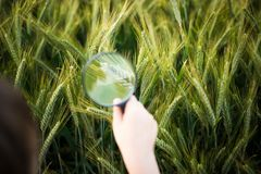 Child looks at the rye through a magnifying glass Royalty Free Stock Images