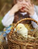 Child looks up at a young fluffy yellow chicken stock photos
