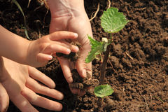 Child and mom hands planting vine Stock Image