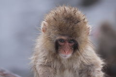 Child monkey. Closeup of child monkey face. The child monkey was played in snow. This photo was taken on Jan. 10, 2010 in Nagano Pref., Japan Royalty Free Stock Images