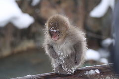Child monkey. Closeup of child monkey. The child monkey was playing in snow. This photo was taken on Jan. 10, 2010 in Nagano Pref., Japan Royalty Free Stock Images