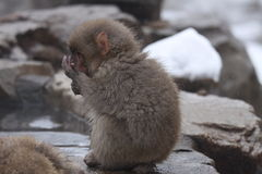 Child monkey in snow. A child monkey is sitting on a rock in snow weather in winter. This photo was taken on Jan. 10, 2010 in Nagano Pref., Japan Stock Photos
