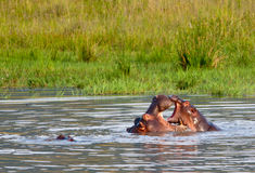 Child almost in mother hippos mouth Royalty Free Stock Images