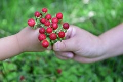 The child and mother are picking wild strawberries Stock Image