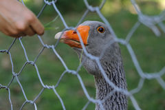 A child offers food to a goose behind the net Stock Image
