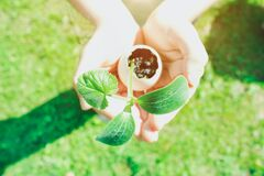 Free Child Or Person Holding Eggshell With Germinated Sprout - Planting Seedling Vegetables Or Plants In Used Egg Shell. Montessori Stock Image - 195673981