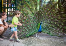 Child with peacock. Child feeding peacocks on poultry farm in contact zoo Stock Photos