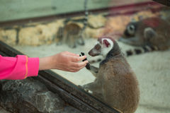Child and pet lemur in the zoo Royalty Free Stock Photography