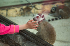 Child and pet lemur in the zoo Royalty Free Stock Image