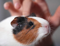 Child pets guinea pig 1. Child pets young guinea pig Stock Image