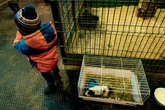 The child in the petting zoo with Guinea pigs and rabbits stock photos