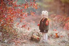 Cute little girl with a basket of red apples in the fall in the park stock images