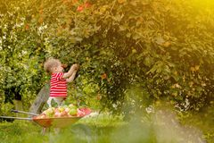 Child picking apples on a farm. Little boy playing in apple tree orchard. Kid pick fruit and put them in a wheelbarrow. Baby