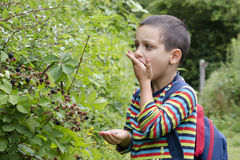 Child picking blackberries Stock Photography