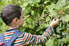 Child picking blackberries Stock Photo