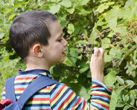 Child picking blackberries Royalty Free Stock Photos